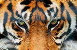 Wizard + Genius Wallpaper Giant Art 00608 Tiger By Colemans